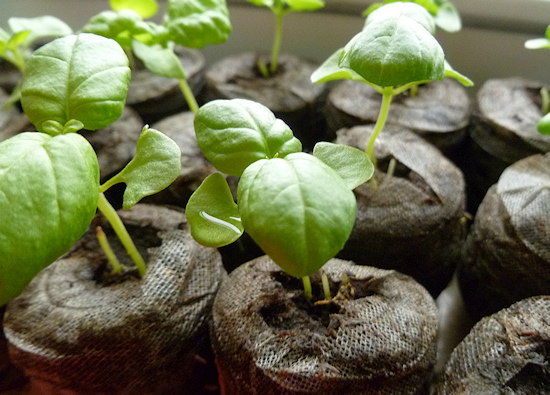 mammoth basil seedlings