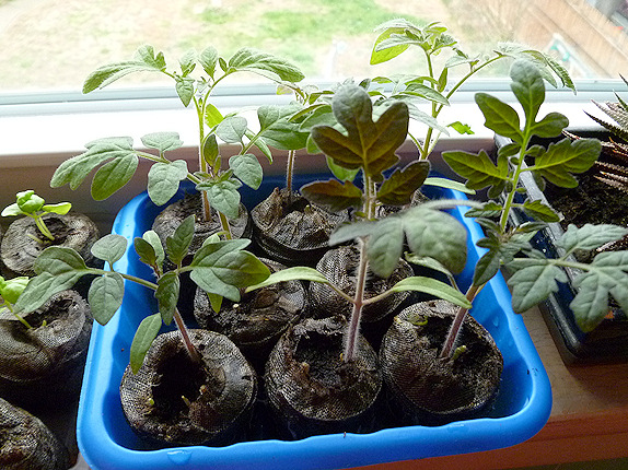 tomato seedlings ready to pot