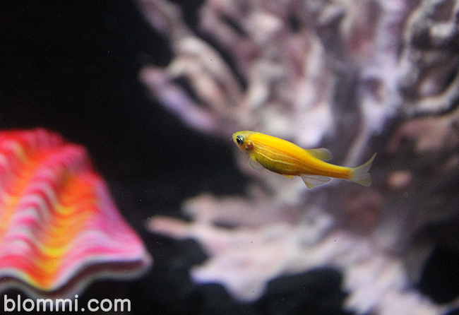 yellow glofish