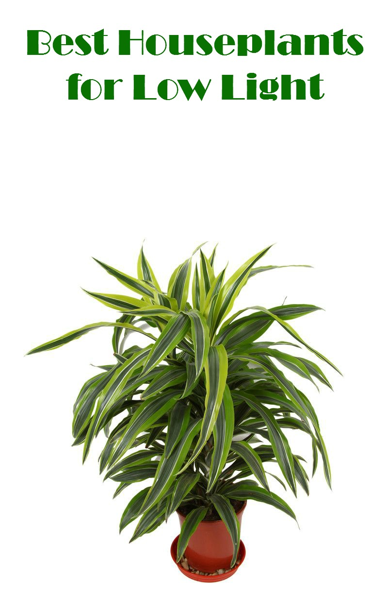 Best Houseplants for Low Light - Mom Foodie