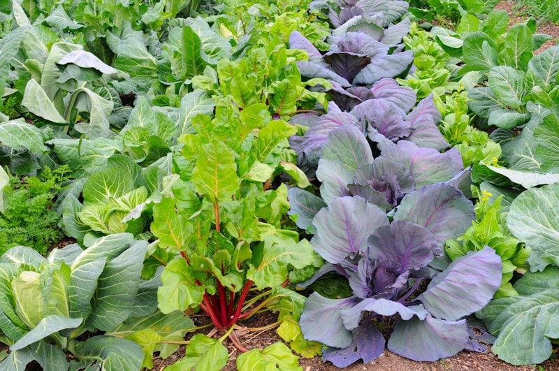 Frost Tolerant Vegetables