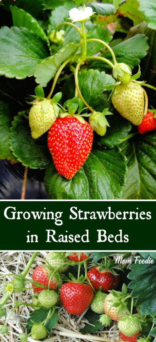 Growing Strawberries In Raised Beds For A Bountiful Harvest