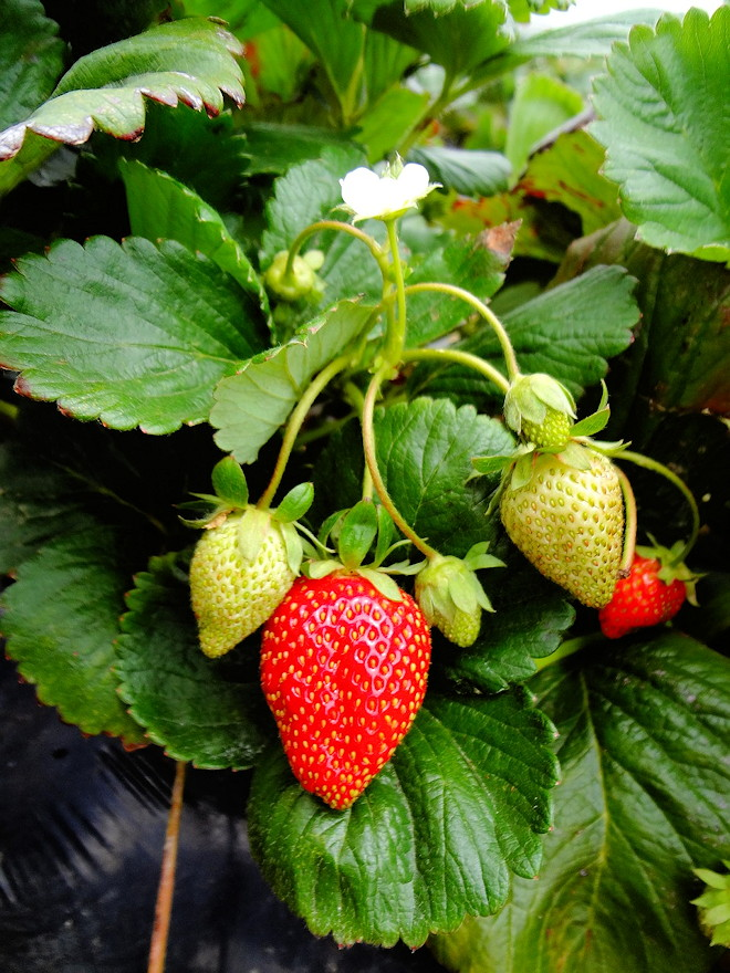 Growing strawberries in raised beds
