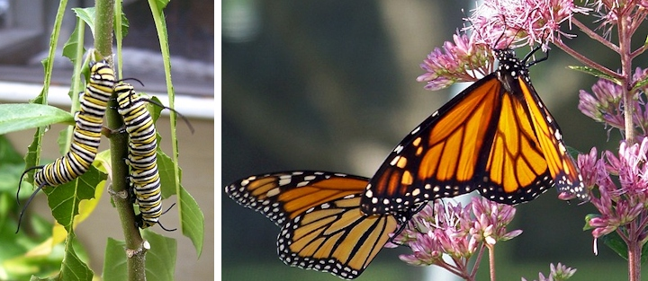 Monarch Caterpillars and Butterflies