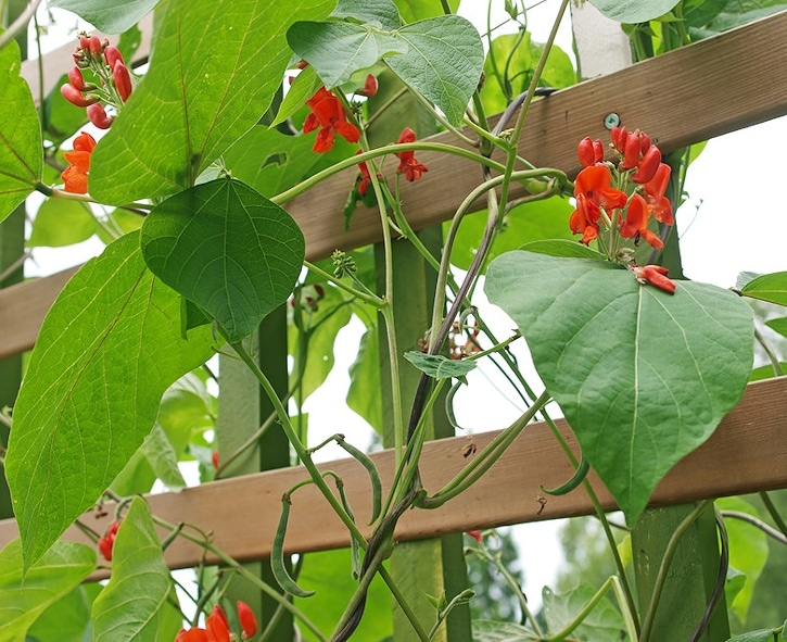 Ornamental beans - Scarlet Runner Bean