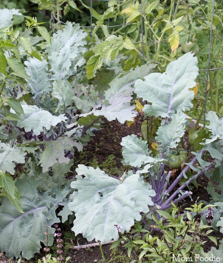 Russian Kale Plants