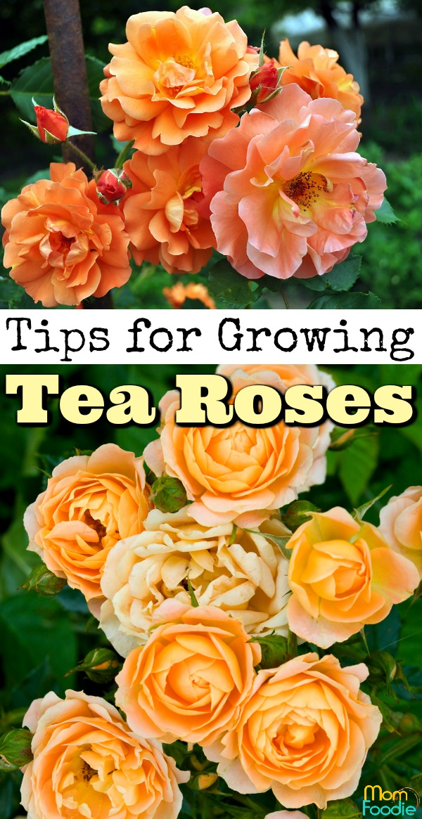 Tips for Growing Tea Roses
