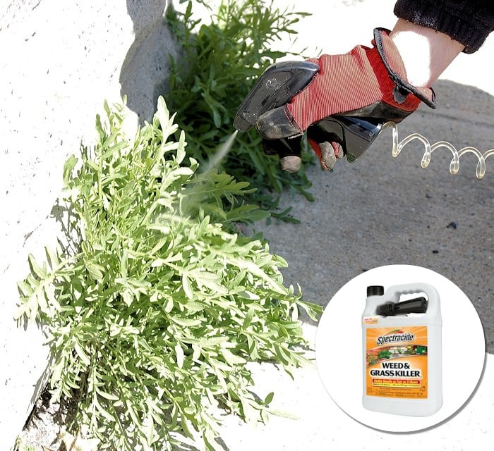 Treating persistent weeds with Spectracide