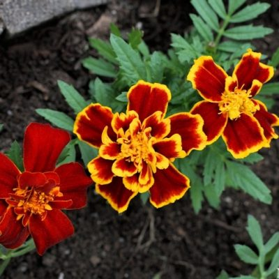 The Many Uses for Marigolds – Garden to Kitchen to Crafting and more