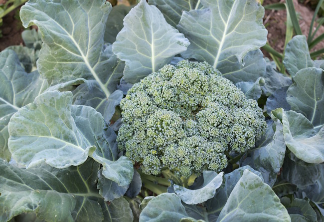 broccoli - frost tolerant vegetable