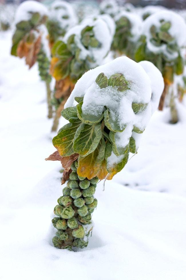 brussels sprouts in winter garden