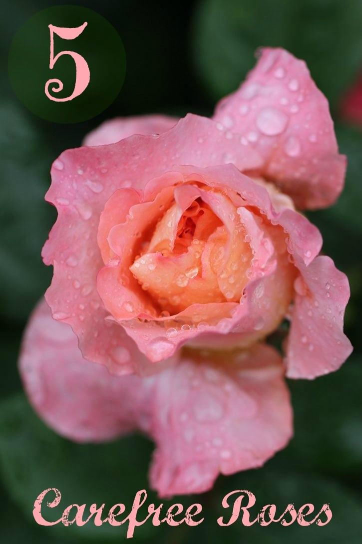 carefree roses