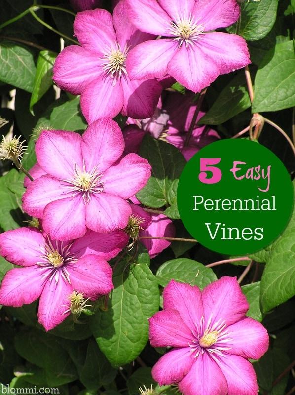 easy perennial vines