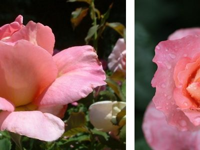 5 Carefree Roses for the Busy Gardener