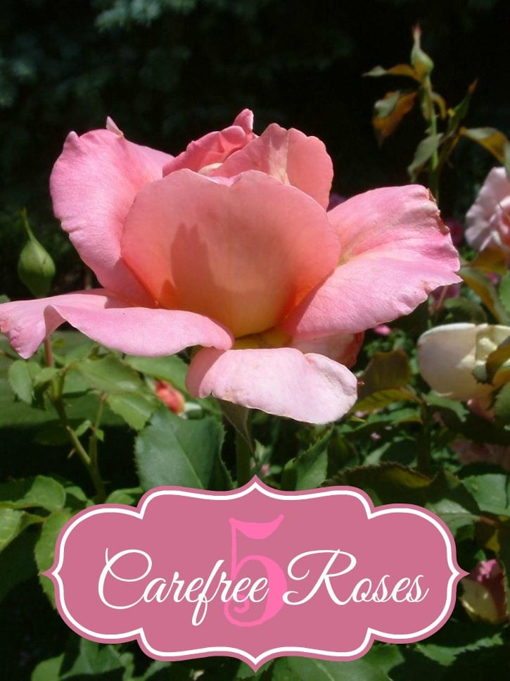 easy to care for roses