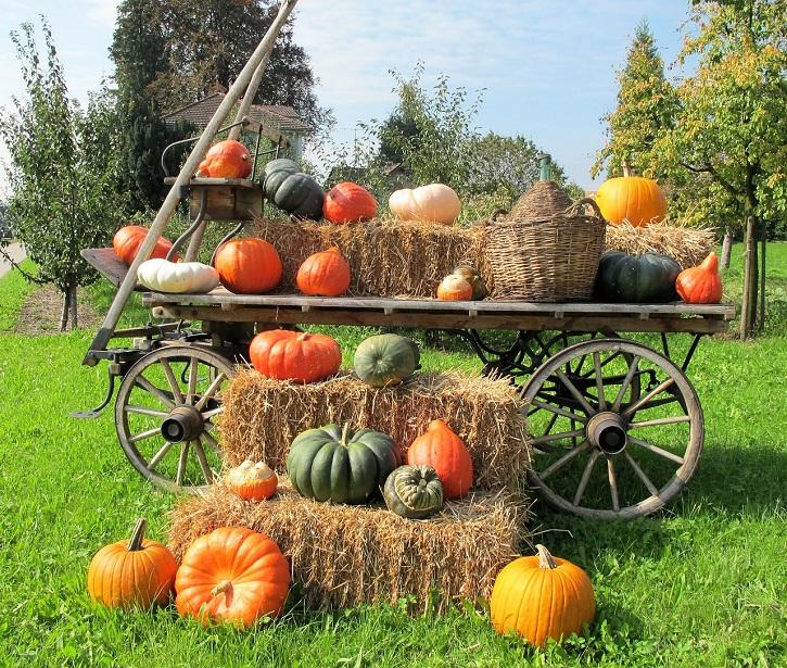 growing pumpkins - harvest