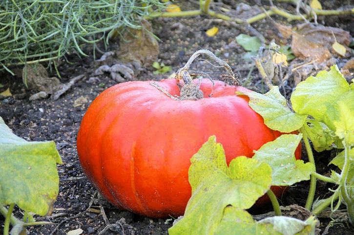 growing pumpkins tips