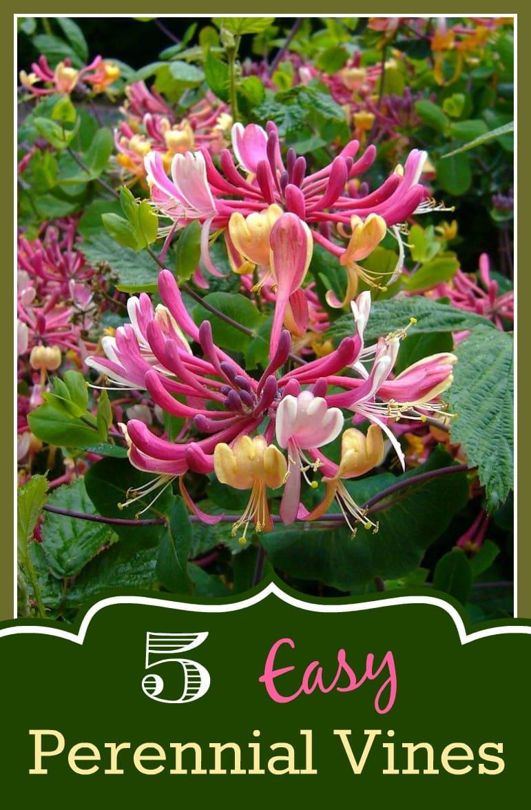 Easy Perennial Vines -Honeysuckle