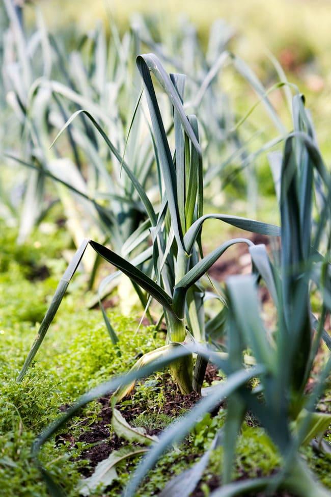 leeks for fall garden