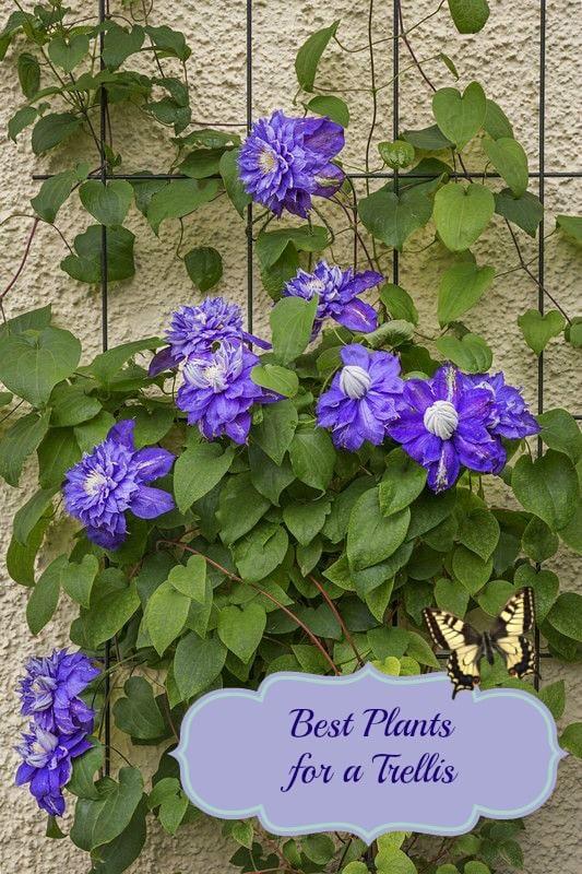 plants for a trellis