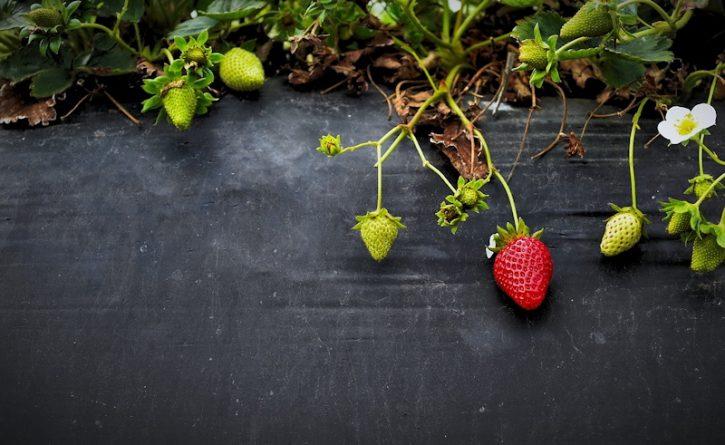 raised bed strawberry garden