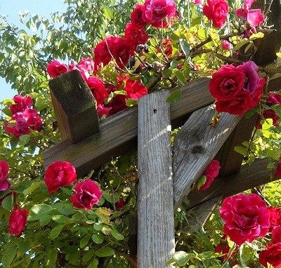Best Roses to Use in an Archway or Trellis