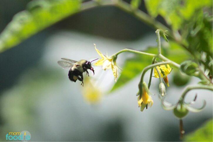 tomato pollinator