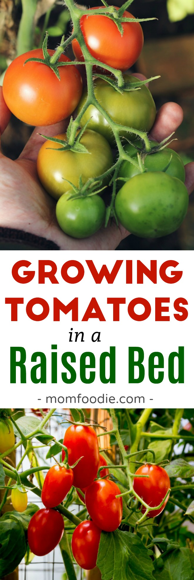 How to Grow Tomatoes in a Raised Bed Garden #garden #gardening #tomatoes #gardeningtips  #vegetablegarden #vegetables