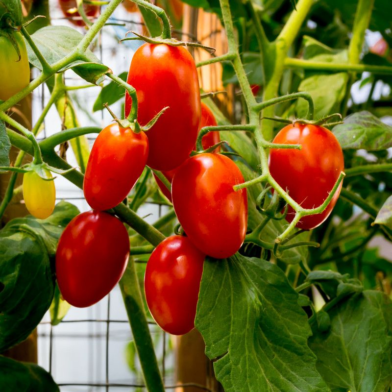 how to grow tomatoes in a raised bed